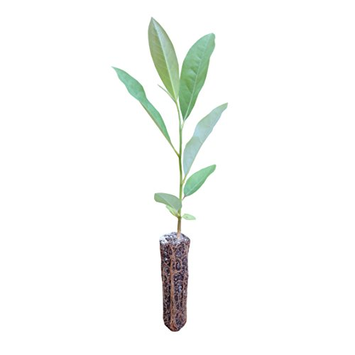 Sweetbay Magnolia | Live Tree Seedling (Medium) | The Jonsteen Company by The Jonsteen Company
