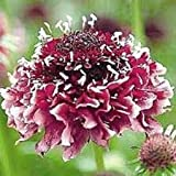 25+ RED/White SCABIOSA Pincushion Flower Seeds/PERENNENNIAL