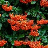 10 x Pyracantha Orange Glow 30-40cm in 9cm pot (a281)