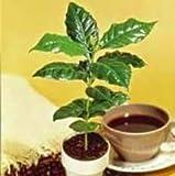Kona Coffee Bean 10 Tree Seeds -Coffea-Gourmet-Tropical