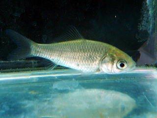 淡水魚 ギンブナ 川魚【こだわりの生体をお届けします 名生園】の商品画像