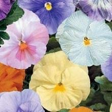 Water Colours Mix Available Now! Winter Pansy 20 x Plant Pack