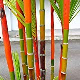 100Pcs Phyllostachys Pubescens Moso-Bamboo Seeds Garden Plants Black Tinwa Color(Colorful Bamboo Seeds)