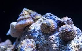 salt water snail - 2