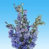 GlobalRose 240 Fresh Cut Blue Volken Delphinium Flowers - Fresh Flowers For Birthdays, Weddings or Anniversary.