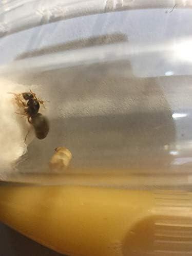 Vivir reina hormiga Lasius Níger con huevos y cría 5-10 trabajadores Kit de arranque