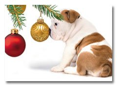 Akc Christmas Ornament (English Bulldog Adorable Puppy Dog with Nose Pressed on Ornament Bulb ~ Box (Dozen - 12) Holiday Christmas Cards)