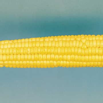 - Park Seed Early Sunglow Hybrid Corn Seeds