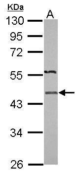 IDH2 antibody [N1N3] (Antibody)