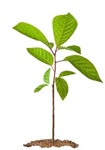 (Black Cherry Tree Prunus serotina Wild Rum Established Roots - 1 Trade Gallon Pot - 1 Plant by Growers Solution)