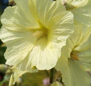 50+ Yellow Giant Hollyhock Flower Seeds / Perennial