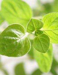 Greek Oregano Herb 500 Seeds