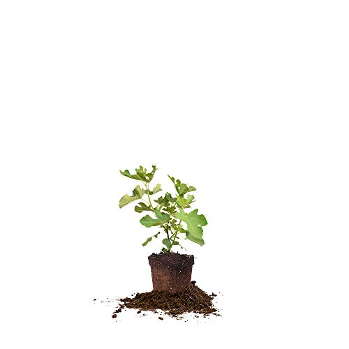 Perfect Plants Brown Turkey Fig Tree Live Plant, 1 Gallon, Includes Care Guide