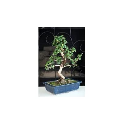 "Fukien Tea Bonsai with 6"" Ceramic Pot Old Specimen, 10"" - 12"" Tall Mature Bonsai: Garden & Outdoor"
