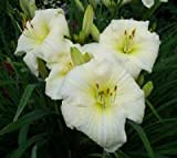 15 Bareroot Hemerocallis Joan Senior Daylily