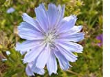 9,000 Chicory Flower Seeds