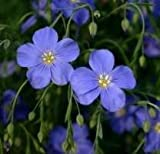 The Dirty Gardener Linum Perenne Blue Flax - 5 Pounds