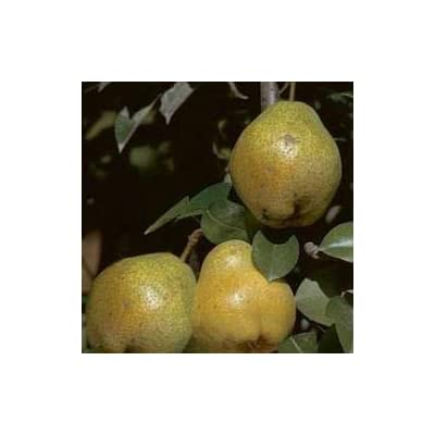 (5 Gallon) KIEFFER PEAR Tree, Fruit Large in Size, Golden Yellow in Color, White Flesh, Crunchy, Sweet, and ripen mid-Season. : Garden & Outdoor