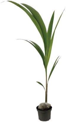 altura aproximada 1m Verdecora Planta Palmera Cocotera natural en maceta de /Ø19cm
