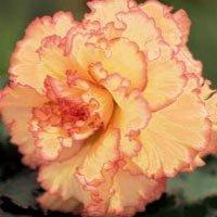 (Begonia Picotee Ruffled Lace Bulbs (2 in pack))