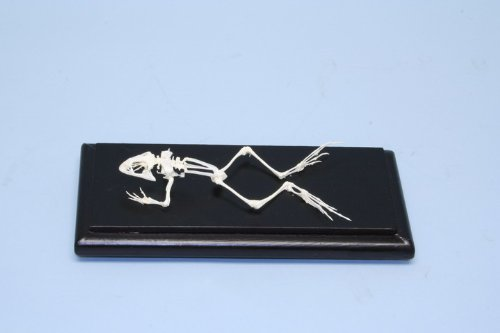 C & A Scientific - Premiere 51017 Real Grass-Frog Skeleton
