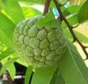 30 Seeds Tropical Asian Thai Custard Apple Fruit Tree