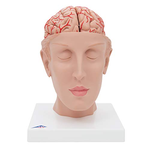 3B Scientific C25 8 Part Brain with Arteries on Base of Head Model, 5.9