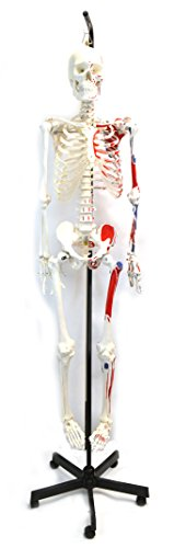 Muscular Painted Human Skeleton Anatomical Model with Hanging Stand, Medical Quality, Life Sized (62