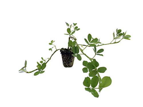 Ornamental Peanut Grass - Arachis Glabrata - 20 Live Plants - 2