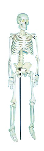 - School Specialty Demonstration Skeleton Model with Metal Stand, 33