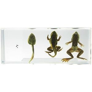 Life Cycle of Frog - Real Specimen (Block Slide)