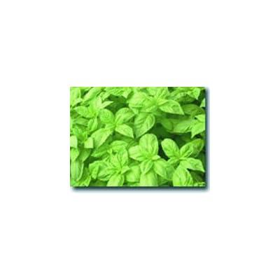 Genovese Basil : Herb Plants : Garden & Outdoor