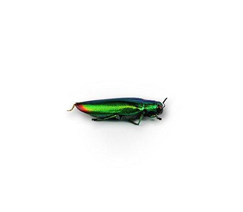 Chrysochroa fulminans Specimen Metallic Jewel Beetle