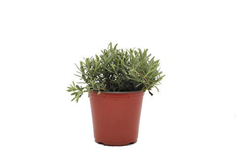Lavender 'Munstead' Herb Plant (Pack of 6) by Dutch Country Classics (Image #3)
