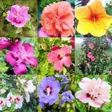 50 MIXED COLORS ROSE OF SHARON HIBISCUS Syriacus Flower Tree Bush Shrub Seeds MixComb S/H