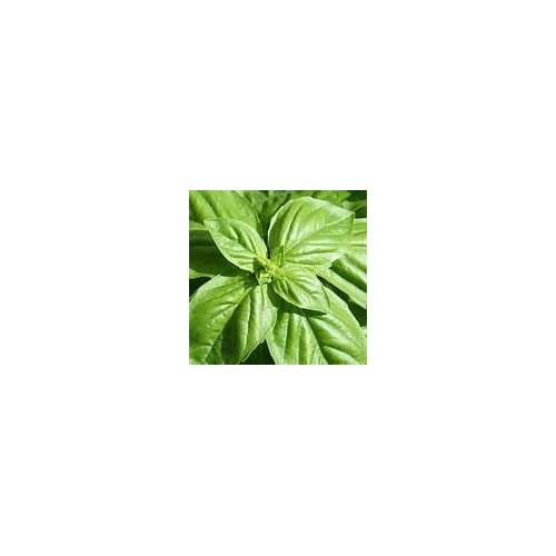 Hot Bulk Organic Basil Seeds (1/4 lb) for sale