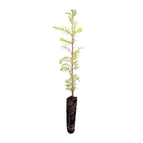 Dawn Redwood | Live Tree Seedling (Medium) | The Jonsteen Company