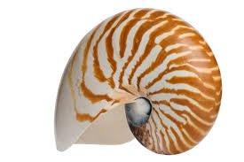 Hinterland Trading Chambered Nautilus Shell