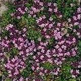 Herb Seeds - Thyme Purple Creeping - 3000 Seeds