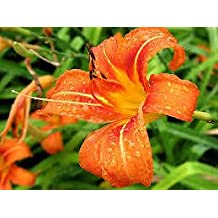 (1 gallon) Orange Daylilly , Prolific Bloomer, Grow in Most Soils, Controls Soil Erosion, Hydrangeas Shrub, Evergreens, Gardenia