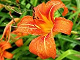 (1 gallon) Orange Daylilly , Prolific Bloomer, Grow in Most Soils, Controls Soil Erosion, Hydrangeas Shrub, Evergreens, Gardenia