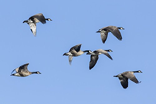 Canada Goose Wing (