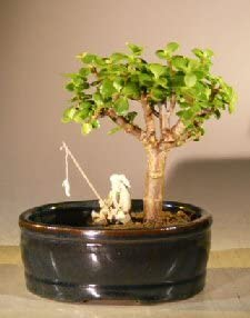 Amazon Com Bonsai Boy S Baby Jade Bonsai Tree Water Land Container Small Portulacaria Afra Home Kitchen
