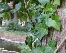 Perennial 12+English Ivy Plant Live Rooted cuttings Evergreen Ground Cover Hardy