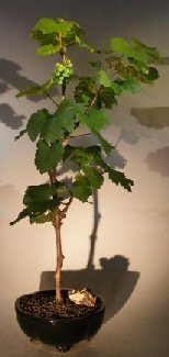 Bonsai Boy's Wine Grape Bonsai Tree Chardonnay (Wine Grape Bonsai Tree)