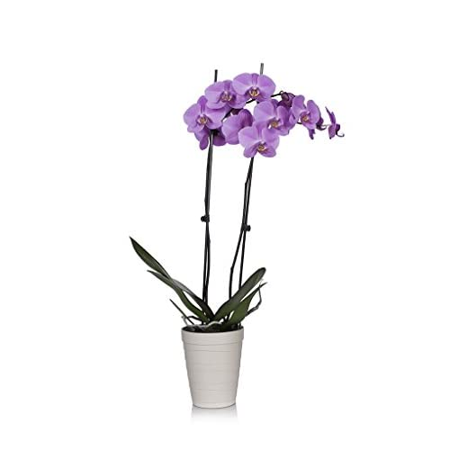 "Nice Just Add Ice 304204 Classic Phalaenopsis Orchid, 5"" Diameter, Purple supplier D7eejxox"