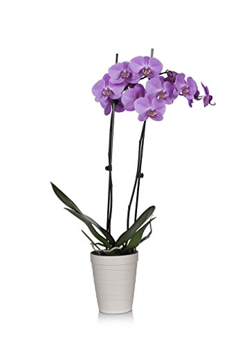 Just Add Ice 304204 Orchid, 5