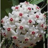 "Strawberries & Cream Wax Plant - Hoya - Great House Plant - 4"" Pot"