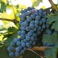 Grape Wine Vines Potted Greenvine - Cabernet Sauvignon Red Burgundy (1)