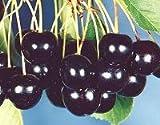 Seeds and Things Sweet Black Cherry Tree 'Prunus serotina'-- 10 Seeds